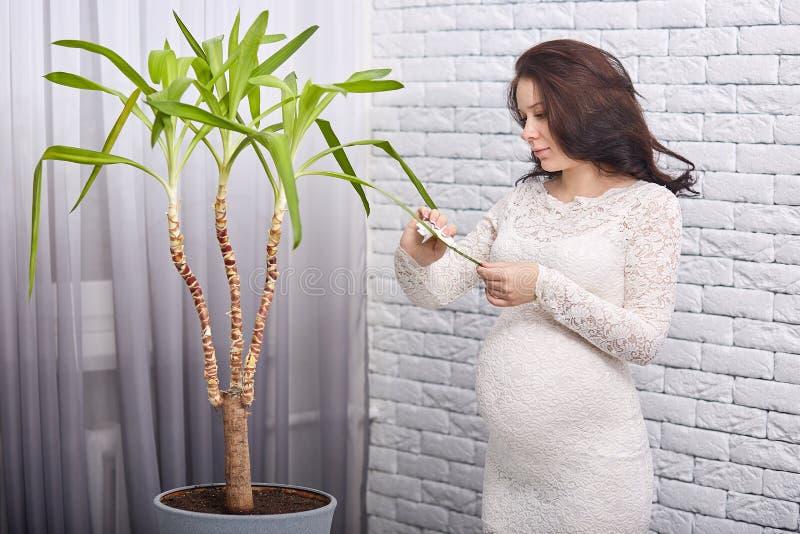 Молодая беременная женщина стоит около окна и кирпичная стена, пылясь листья большого завода в ее уютной квартире, носит белые dr стоковые фото