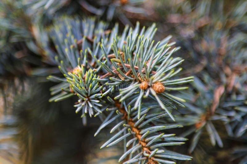 Молодая ветвь спруса или сосны весной близко вверх стоковые изображения rf