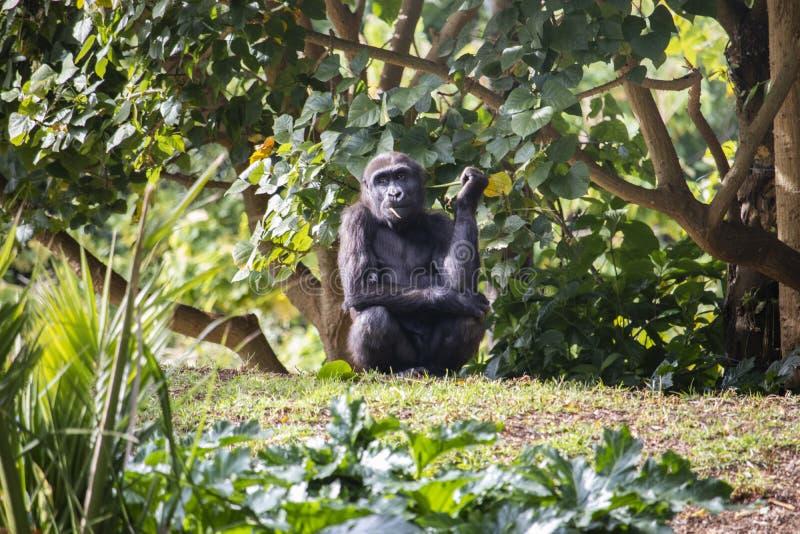Молодая горилла есть лист стоковое фото rf