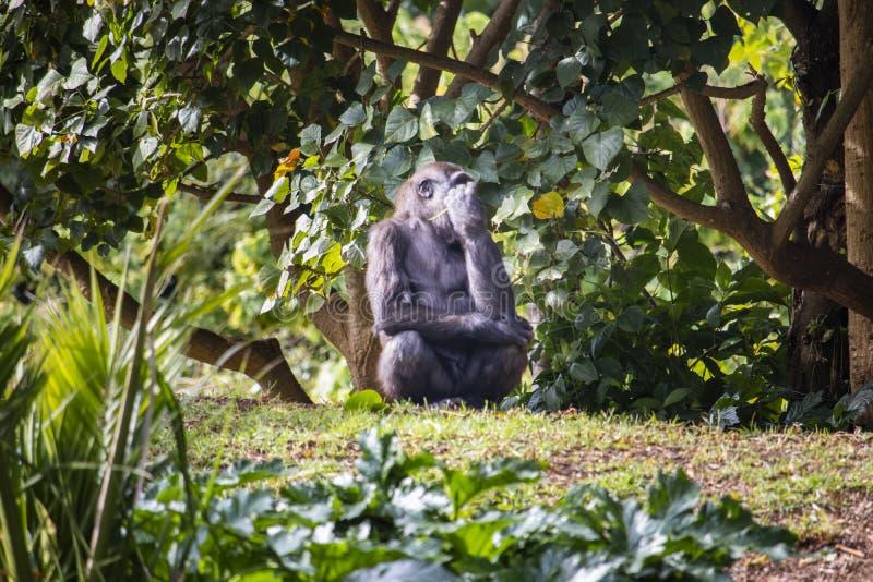 Молодая горилла есть лист стоковые фотографии rf