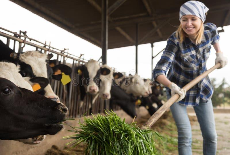 Молодая женщина позаботить о коровы в амбаре коров стоковое изображение rf