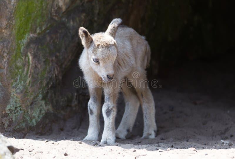 Молодая коза горы стоковая фотография