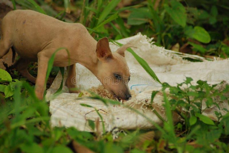 Молодая коричневая бездомная собака развязности плача и есть когда получил еду стоковые фотографии rf