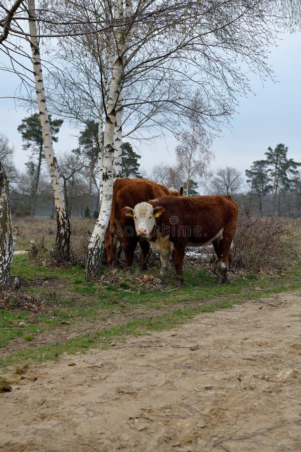 Молодая краснокоричневая корова смотрит меня с ее белой стороной, гору Rijssen Frisian стоковые изображения