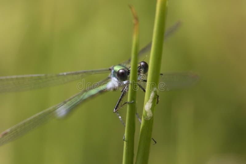 Молодая красотка отдыхая на стержне травы стоковые изображения