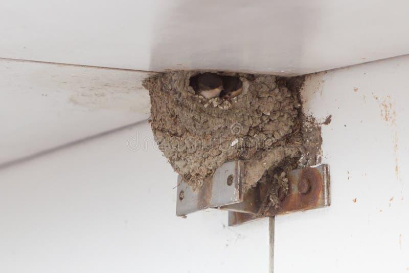 Молодая ласточка амбара ожидает подавать от родителей стоковое изображение rf