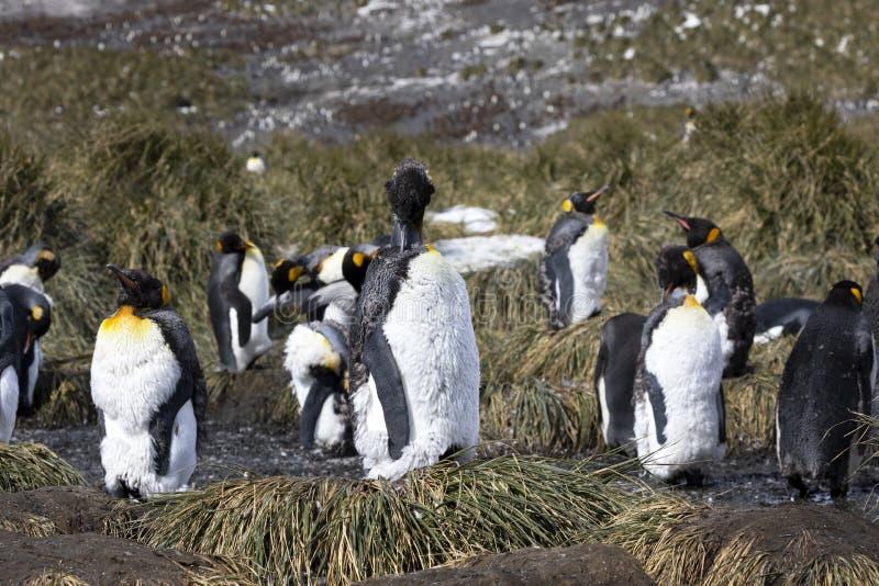 Молодая линька пингвина короля и извлекает его старое оперение с его клювом стоковое фото rf