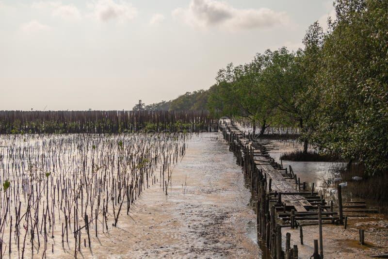 Молодая мангрова forestA мангровы небольшое дерево которое растет в прибрежной соляной или brackish воде стоковое фото rf