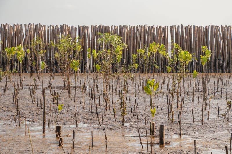 Молодая мангрова forestA мангровы небольшое дерево которое растет в прибрежной соляной или brackish воде стоковые изображения rf