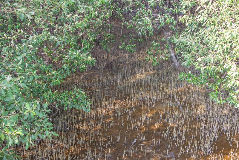 Молодая мангрова forestA мангровы небольшое дерево которое растет в прибрежной соляной или brackish воде стоковая фотография
