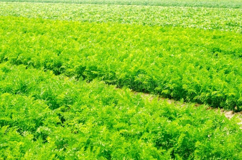 Молодая морковь растет в конце-вверх почвы обрабатывающ землю, дружественные к эко сельскохозяйственные продукты, вытрезвитель, с стоковые изображения