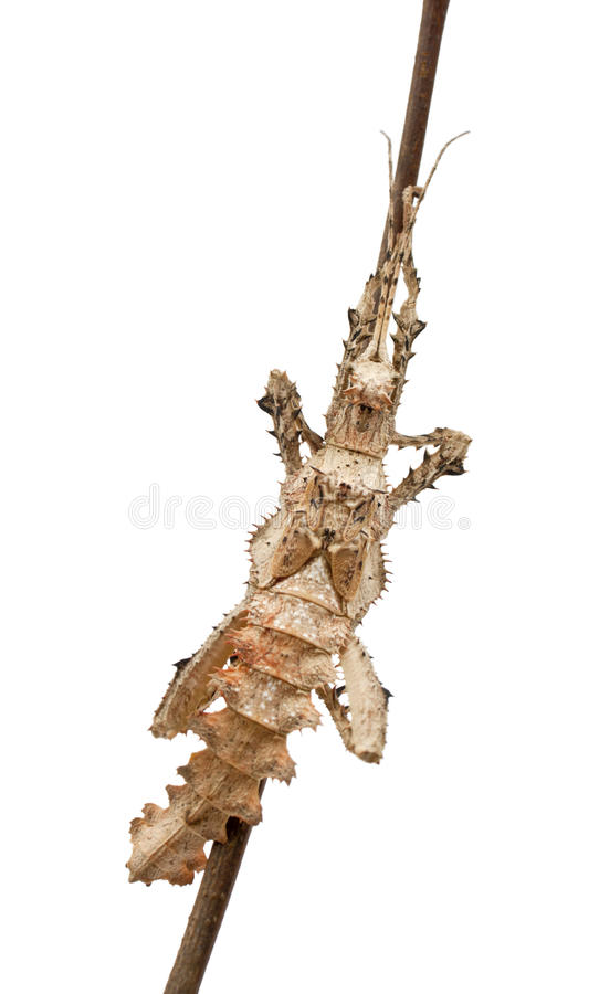 Молодая мыжская Malayan нимфа джунглей стоковая фотография rf