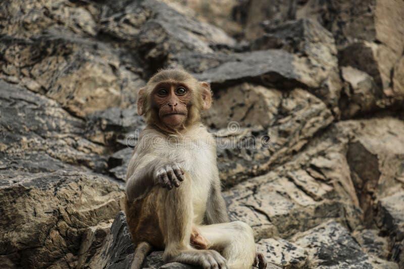 Молодая обезьяна при большие, выразительные глаза сидя на камнях стоковая фотография rf