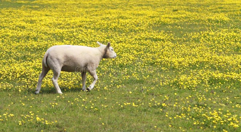 Молодая овечка в лужке желтых цветков стоковые фотографии rf
