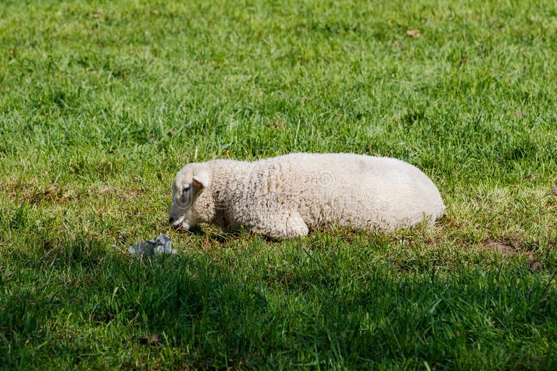 Молодая овечка лежа на зеленом луге стоковые изображения rf
