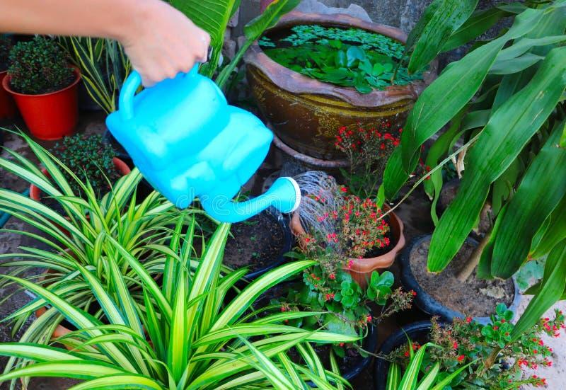 Молодая рука с зеленой моча консервной банкой моча заводы цветка раст стоковые изображения