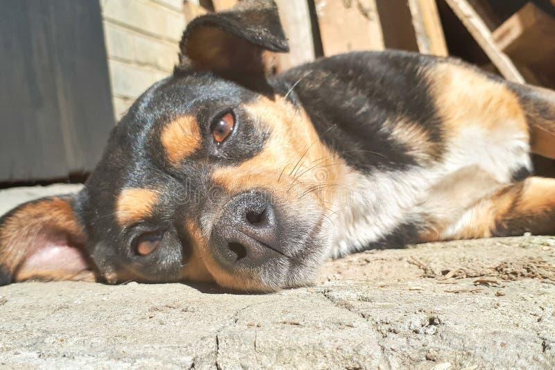 молодая собака лежит на бетоне и остатках Перспектива от земли стоковое фото rf
