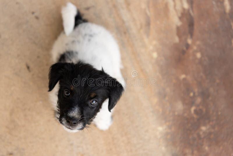 Молодая собака щенка терьера Джек Рассела 7,5 недель старых смотрит вверх смешная перспектива стоковое фото