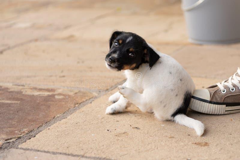 Молодая собака щенка терьера Джек Рассела 7,5 недель старых С лапкой, собака царапает стоковое фото