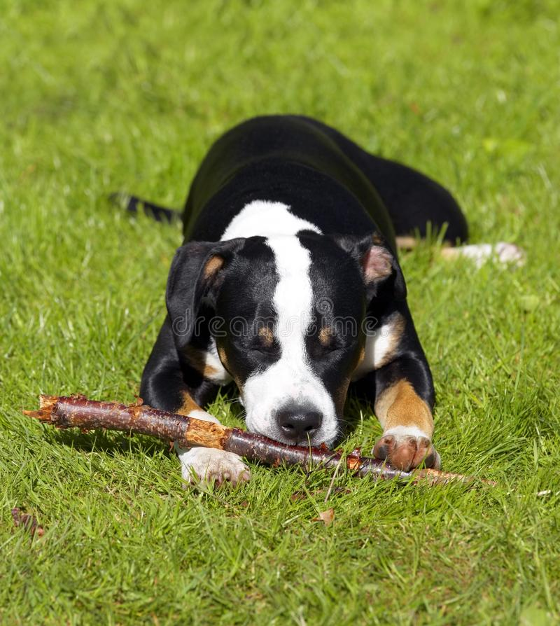 Молодая собака стоковая фотография
