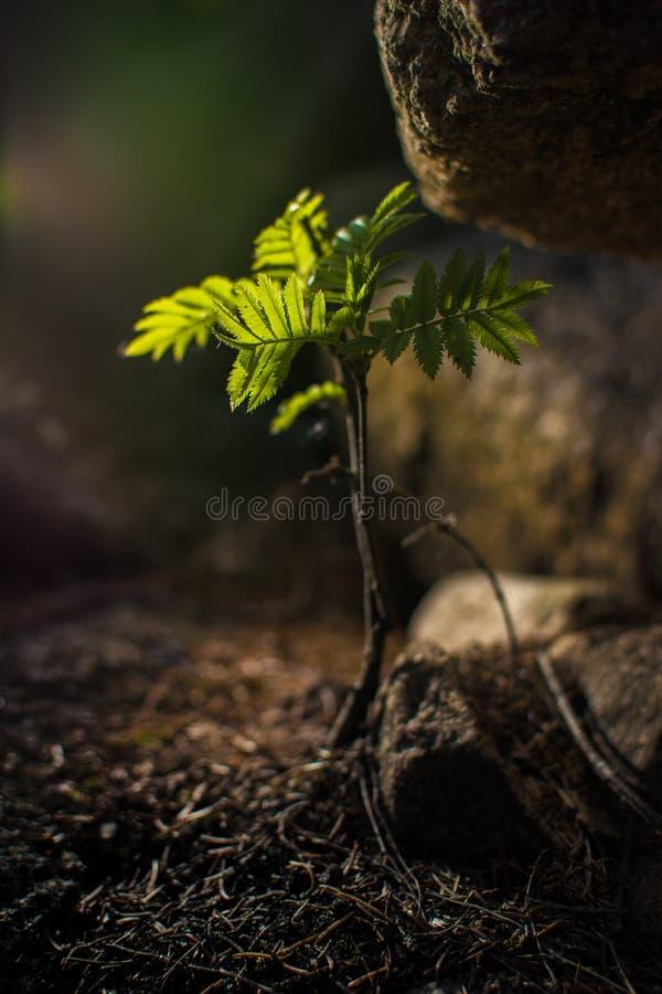 Молодое дерево растя утесом стоковые изображения rf