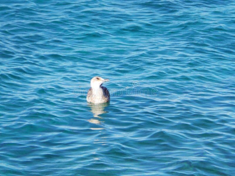 Молодое заплывание чайки в море стоковое изображение rf