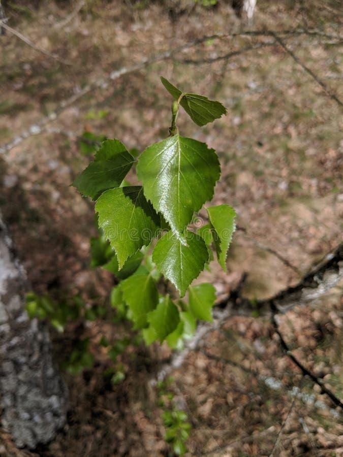 Молодое зеленое дерево березы стоковые фотографии rf