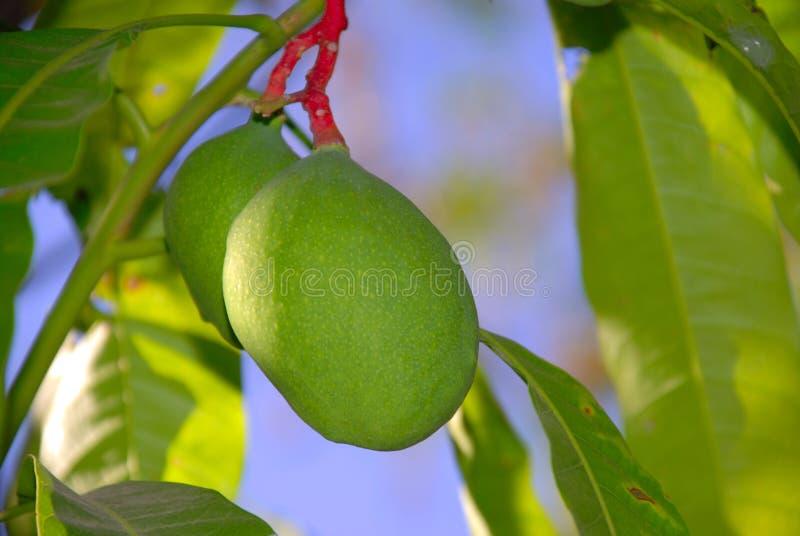 Молодое манго на дереве стоковое фото