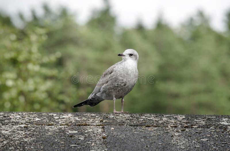 Молодое общее положение чайки на деревянном журнале стоковое фото rf
