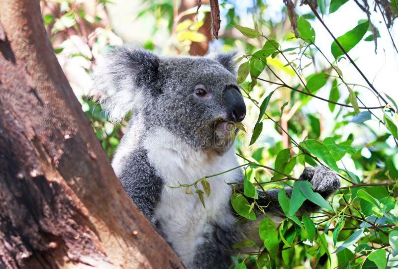 Молодое разрешение эвкалипта еды медведя коалы в дереве стоковая фотография