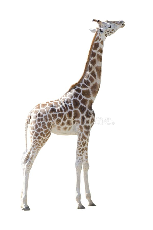 Молодое тело Girafe полностью изолированное на белой предпосылке стоковое изображение rf