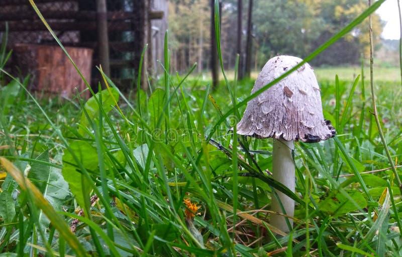 Молодое Shaggy comatus чернильного гриба крышки чернил Съестно когда детеныши стоковое фото