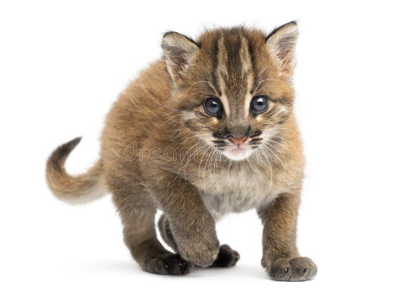 Молодой азиатский золотой смотреть на кота, смотря камеру, temminckii Pardofelis стоковые фотографии rf
