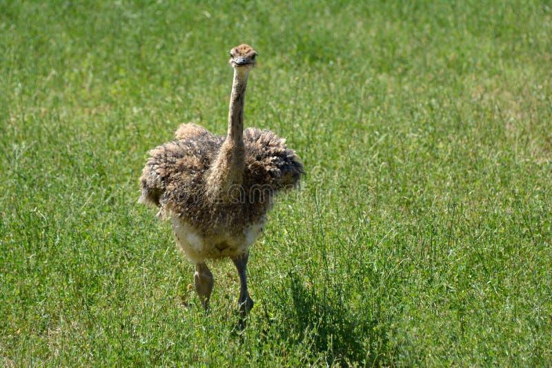 Молодой африканский camelus Struthio страуса стоковые фотографии rf