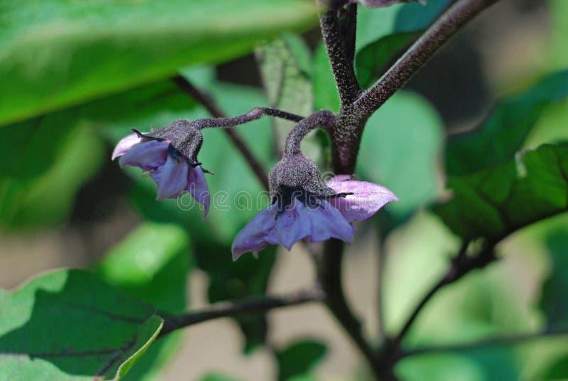 Молодой баклажан растя в саде стоковое изображение
