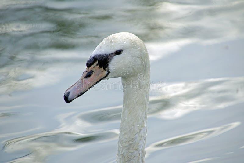 Молодой белый лебедь портрет конца птицы вверх стоковая фотография