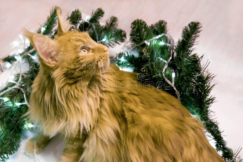 Молодой большой красно-мраморный мраморный кот лежит в ветвях рождественской елки и лампах поздравительная открытка с котом и про стоковое изображение rf