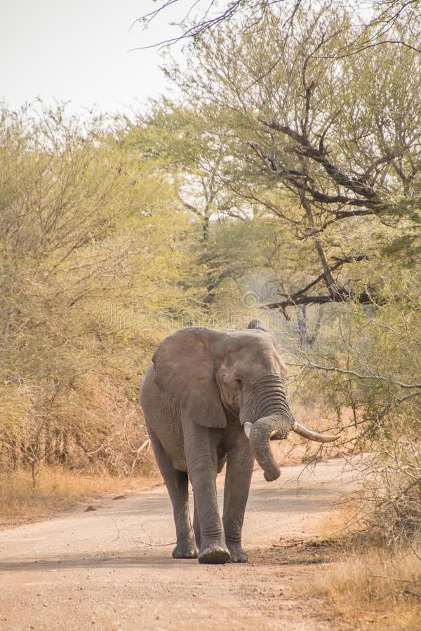 Молодой бык африканского слона идя на грязную улицу стоковое изображение