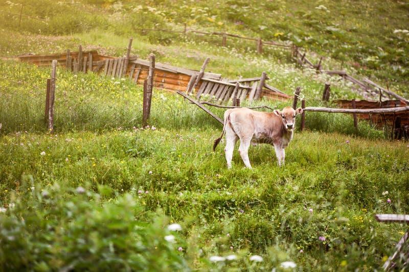 Молодой бык коричневого цвета пасет на зеленом цвете стоковые фотографии rf