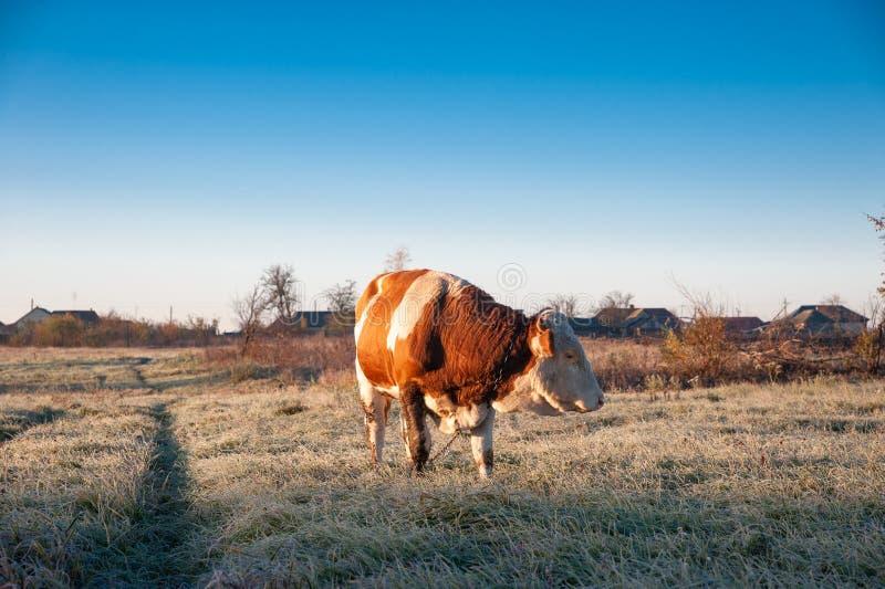 Молодой бык на поле, в утре в деревне стоковые фото