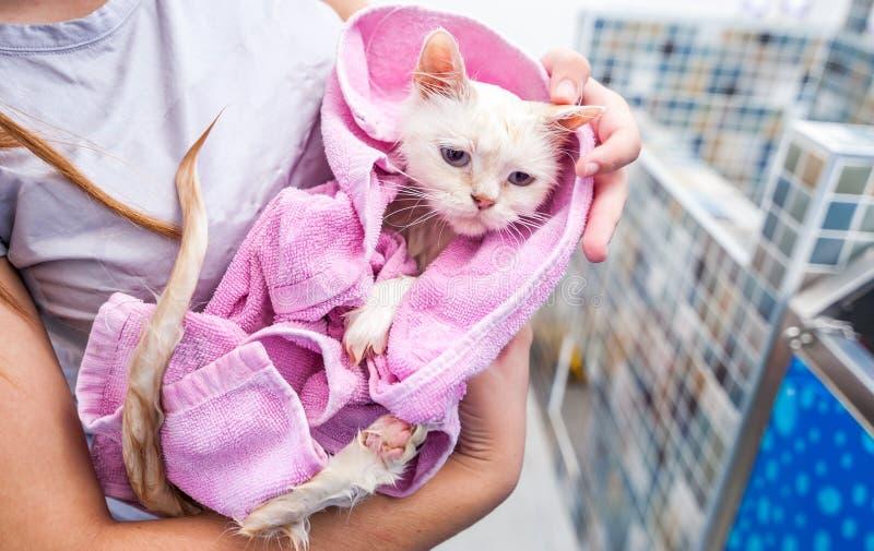 Молодой влажный белый персидский кот в полотенце после владения ванны непознаваемыми руками девушки с смешным выражением лица в к стоковое фото rf