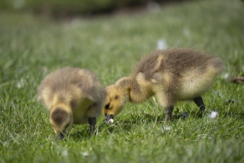 Молодой гусенок 2 пася на траве стоковая фотография rf