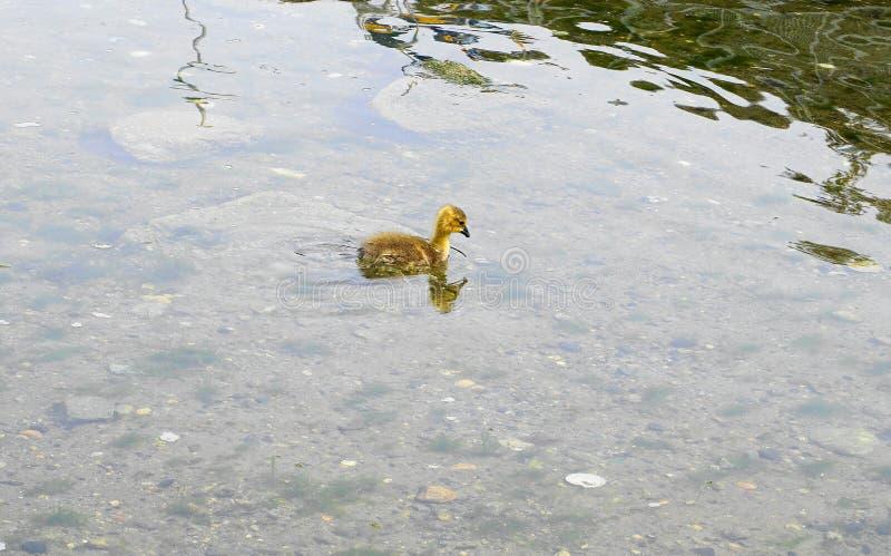 Молодой гусенок с желтым оперением в конце воды вверх стоковые изображения