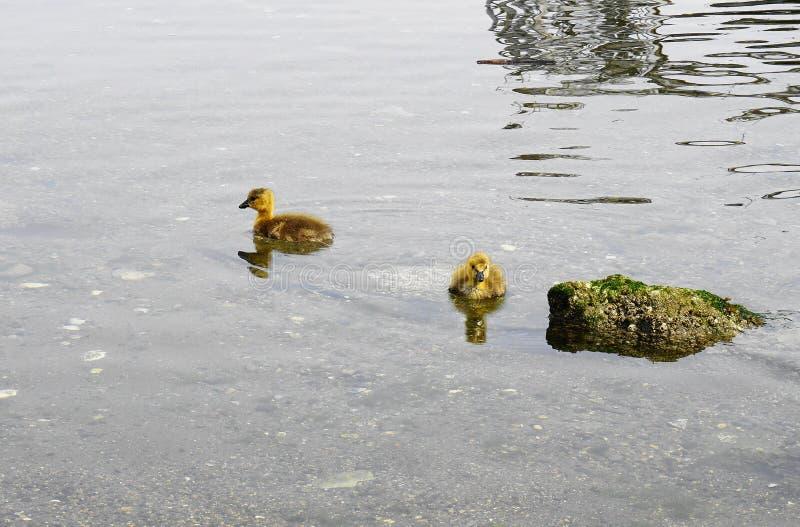 Молодой гусенок с желтым оперением в конце воды вверх стоковое изображение