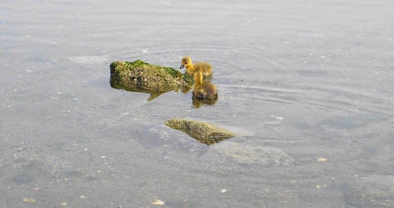 Молодой гусенок с желтым оперением в конце воды вверх стоковые фото