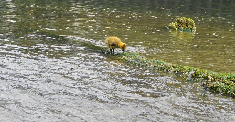 Молодой гусенок с желтым оперением в конце воды вверх стоковая фотография rf