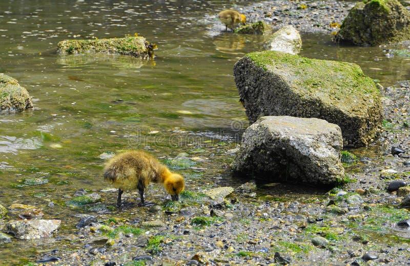 Молодой гусенок с желтым оперением в конце воды вверх стоковое фото