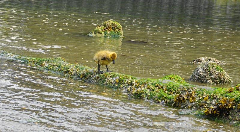 Молодой гусенок с желтым оперением в конце воды вверх стоковые изображения rf