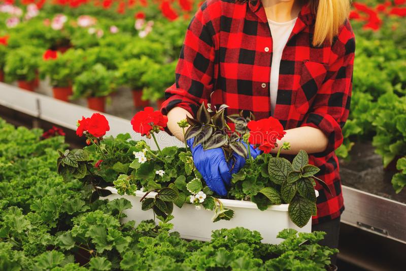 Молодой женский садовник в перчатках работая в парнике, засаживая и позаботить о цветки стоковое фото