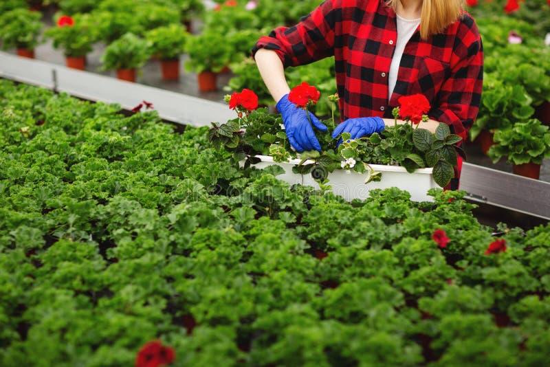 Молодой женский садовник в перчатках работая в парнике, засаживая и позаботить о цветки стоковое фото rf